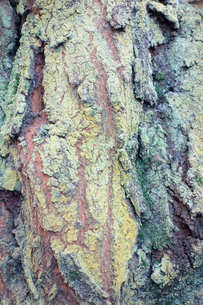 樹皮の写真素材 [FYI00301615]