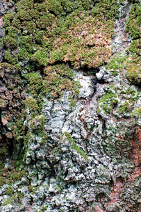 樹木の皮の写真素材 [FYI00301805]