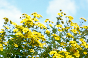 黄色の花の写真素材 [FYI00301852]