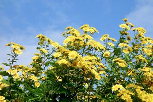 青空に映える黄色い花の写真素材 [FYI00301861]