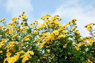 黄色の花の写真素材 [FYI00301866]