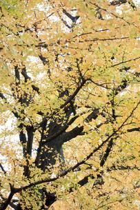 銀杏の写真素材 [FYI00301873]