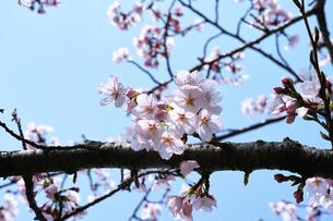 青空と薄桜の写真素材 [FYI00302133]