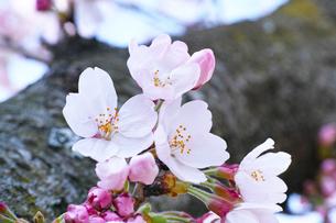 開花したサクラの写真素材 [FYI00302135]