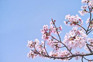 青空とさくらの開花の写真素材 [FYI00302153]