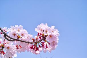 スカッとした青空と桜花の写真素材 [FYI00302154]