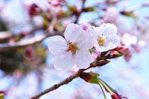 桜の花一輪の写真素材 [FYI00302155]