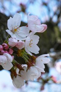 さくらの開花の写真素材 [FYI00302167]
