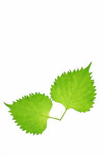 青じぞの葉の写真素材 [FYI00302196]