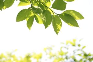 柿の木の若葉の写真素材 [FYI00302200]