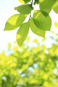 柿の木の若葉の写真素材 [FYI00302208]