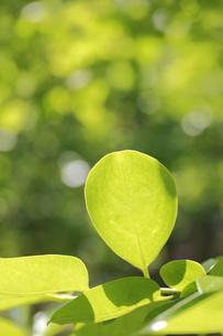 柿の木の若葉の写真素材 [FYI00302213]