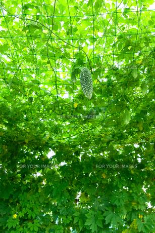 ゴーヤグリーンカーテンの写真素材 [FYI00302296]