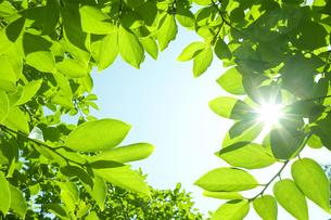 柿の木の葉と木漏れ日の写真素材 [FYI00302297]