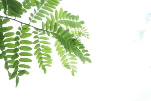 新緑のニセアカシアの写真素材 [FYI00302308]