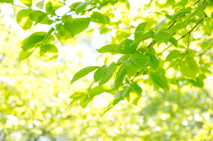 柿の木の若葉の写真素材 [FYI00302310]