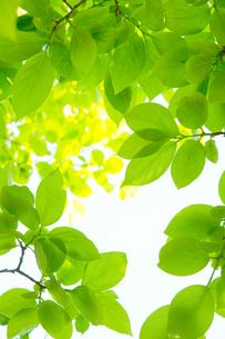 柿の木の若葉の写真素材 [FYI00302311]