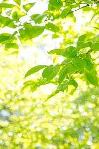 柿の木の若葉の写真素材 [FYI00302312]
