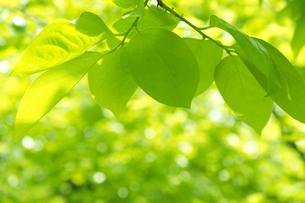 柿の木の若葉の写真素材 [FYI00302313]
