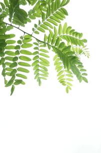 新緑のニセアカシアの写真素材 [FYI00302321]