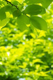 柿の木の若葉の写真素材 [FYI00302327]