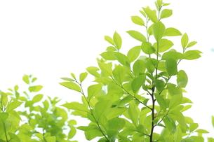 新緑のカキノキの写真素材 [FYI00302332]
