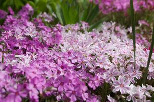 芝桜の写真素材 [FYI00302939]