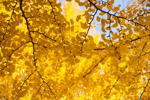 黄葉するイチョウの木の写真素材 [FYI00302967]