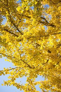 黄葉するイチョウの木の写真素材 [FYI00302973]