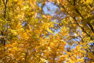 黄葉するメタセコイアの写真素材 [FYI00302974]