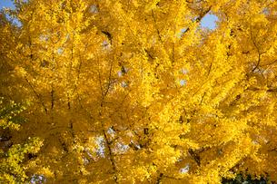 黄葉するイチョウの木の写真素材 [FYI00302989]