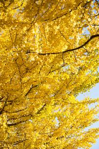 黄葉するイチョウの木の写真素材 [FYI00302992]