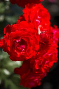 神代植物公園のバラの写真素材 [FYI00303090]