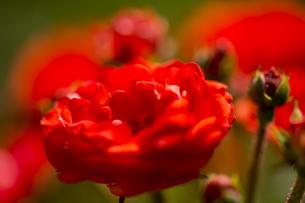 神代植物公園のバラの写真素材 [FYI00303095]