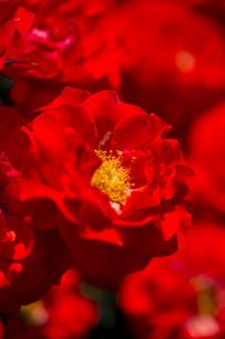 神代植物公園のバラの写真素材 [FYI00303102]