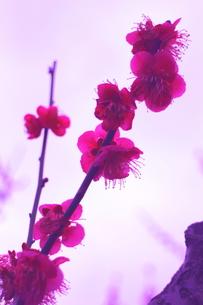 思いっきりピンクな梅の写真素材 [FYI00303134]