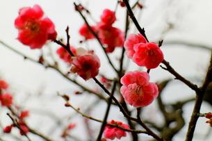 鮮やかなピンクの梅の写真素材 [FYI00303136]