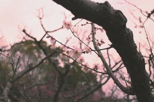 こんな感じでどうでしょう…梅の写真素材 [FYI00303137]