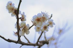 透き通ればいいのに、白い梅の写真素材 [FYI00303140]
