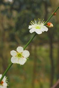 しっとりした白い梅の写真素材 [FYI00303141]