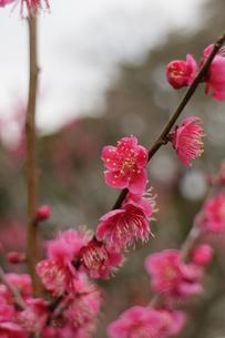 ピンクの梅の写真素材 [FYI00303142]