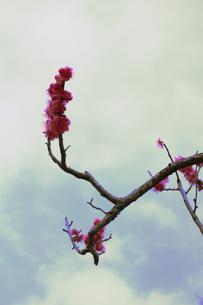 おかしな枝ぶりのピンク梅の写真素材 [FYI00303146]