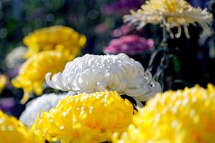 大輪に育てました、立派な菊の写真素材 [FYI00303149]