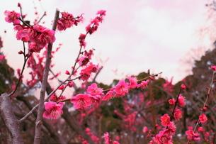 梅もお空もピンク色の写真素材 [FYI00303150]