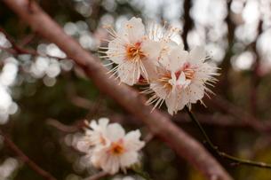 雌しべが凄い梅の写真素材 [FYI00303159]