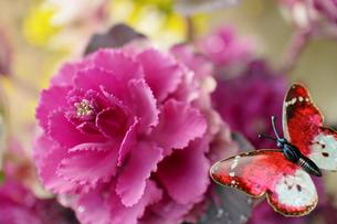 無機質な蝶々がかわいい紫メキャベツの写真素材 [FYI00303162]