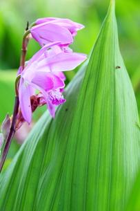 しっとりした葉の紫蘭の写真素材 [FYI00303177]