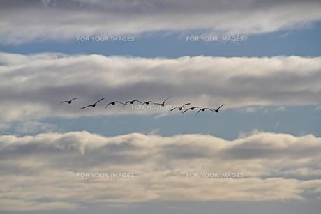 カナダガンの群れの写真素材 [FYI00303323]