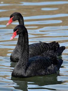 黒鳥 ブラックスワンの写真素材 [FYI00303346]