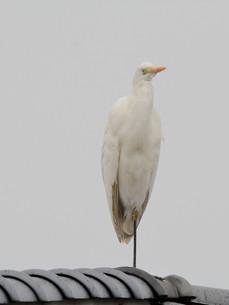 白鷺 の写真素材 [FYI00303360]